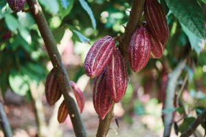 San Fernando - Cacao