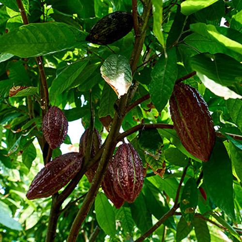 San Fernando - Cocoa tree